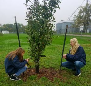 Ag students staking a tree in the school orchard.